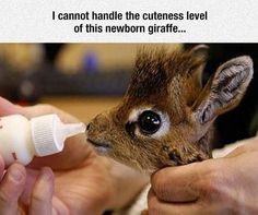 Photo: Newborn Giraffe cute animals adorable