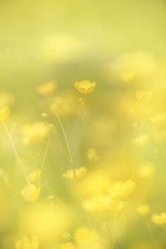 Yellow Flower Meadow by Olivier Mattelart