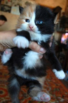 so cute ~ looks like a tiny stuffed animal..i LOVE the colors..I love Harlequin - calico cats.