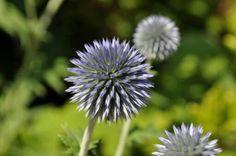 Round purple flower