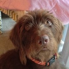 """Fantastic """"pointer pups"""" info is available on our internet site. Read more and you wont be sorry you did. Wirehaired Pointing Griffon, German Wirehaired Pointer, Pointer Puppies, Dogs And Puppies, Doggies, I Love Dogs, Puppy Love, Dog Rules, Hunting Dogs"""