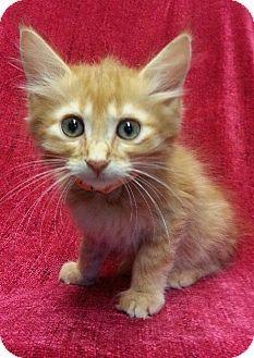 Prattville, AL - Domestic Longhair. Meet Craig 21044, a kitten for adoption. http://www.adoptapet.com/pet/11426242-prattville-alabama-kitten