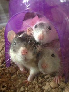 Snuggle fest. Dumbo rats