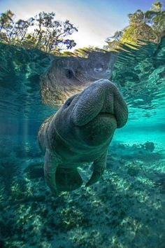 A Manatee in the Crystal River (Florida) befor breathe