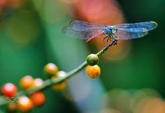 Dragonfly on cocoa branch - Dragonfly resting on cocoa plant branch . Shot at Soneva Kiri Resort , Ko Kut. Thailand