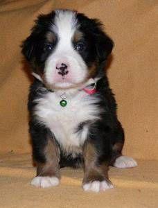 Bernese Mountain Pup! So cute!