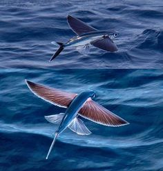 Exocoetidae (Flying Fish) http://www.trueactivist.com/28-awe-inspiring-photos-that-prove-just-how-cool-mother-nature-is/