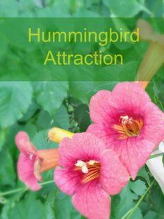 5 Simple steps to attract Hummingbirds to your yard.