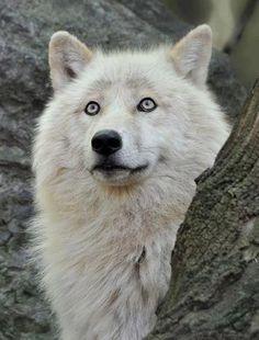 ~ Gorgeous Wolf ~ wolfalphawolf.tumblr.com