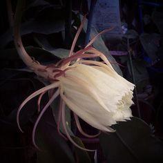 サカタニミホのエコひいきを振り返る「開花~月下美人」(2014年07月31日)  月下美人が初めて咲きました。私の記憶が間違っていなければ、叔母から母に譲られ、バランスを乱している葉を差し穂として持ち帰ったものだと思います。差し穂から2年で花芽がつく程に育ったのです。米粒の大きさの花芽を見つけた時から、開花を楽しみにしていたのですが、その瞬間を逃してし... #ecohiiki #gardening #green #DutchmansPipeCactus #AQueenoftheNight #cactus #epiphyllum #oxypetalum #ガーデニング #ゲッカビジン #月下美人 #tbt