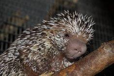 Naissance d'un coendou au Zoo de Montpellier