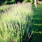 How to Grow Lavender in the Midwest | Midwest Living