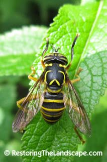 Syrphid Fly ~ Spilomiya longicornis