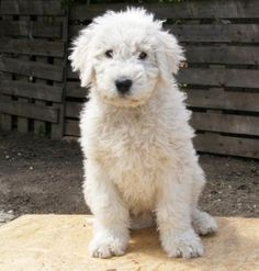 Komondor puppy a rare and loyal dog breed, the Komondor devotes himself to his family and guards them at all costs.