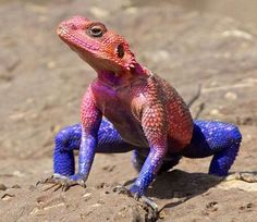 The Mwanza flat-headed rock agama (Agama mwanzae) or the Spider-Man agama, because of its coloration, is a lizard in the family Agamidae, found in Tanzania, Rwanda, and Kenya. The species has become a fashionable pet due to the male's coloration, which resembles the comic-book superhero Spider-Man.