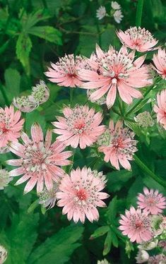 Astrantia - prefer shade and grows in zones 4-9 - Ht. depends on the species 2-3' - Slugs don't like Astrantias so inter-planting them among your other shade plants tends to repel them.