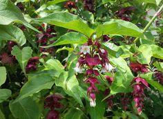 Leycesteria formosa / arbre au faisans, floraison pourpre de juin à octobre