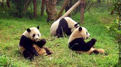 Newsela   Soon, China's giant pandas will have a mountain all their own to call home