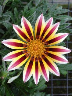 Gazanias Flower Flowers