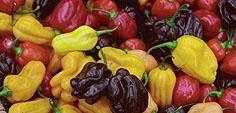 Örtagårdens Plantskola - Kryddor örtkryddor fröer odla vitlök chilipeppar frökataloger - Odla Chilipeppar