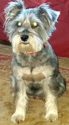 Lost Dog - Schnauzer - San Leon / Dickinson, TX, United States 77539