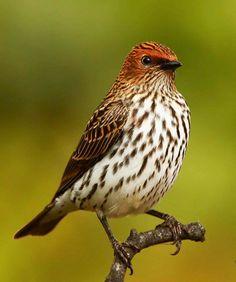 Estornino amatista,estornino de espalda violeta o estornino ciruela hembra - Female Violet-backed Starling
