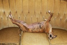 Whippet Tappinskis Rubi For Dogarium - 49 days pregnant <3