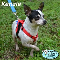Kenzie is a 6-year-old, 11-pound Chihuahua girl.  Poodle and Pooch Rescue - Adoptable Dogs - www.pprfl.org