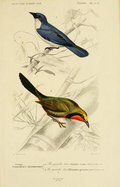 gravures couleur d'oiseaux - Gravure oiseau 0173 pie-grieche bleue - lanius bicolor - passereau - Gravures, illustrations, dessins, images