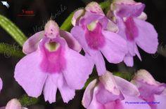 Physoceras castillonii