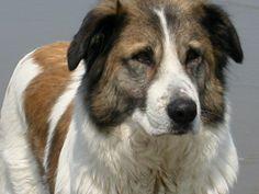 Aidi / Atlas Mountain Dog / Aïdi / Atlas Shepherd Dog / Chien de l'Atlas #Puppy
