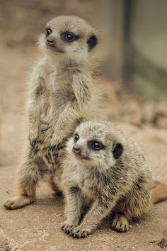 plasmatics-life:  Meerkat Sweetness ~ By Kathryn Potempski