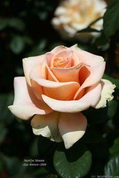 Rose - Marilyn Monroe