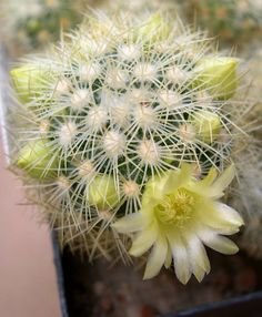 Mammillaria mieheana