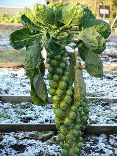 Couve de Bruxelas - é uma verdura (Brassica oleracea, grupo Gemmifera) que lembra pequenos repolhos e por isso, também é chamada de repolhinho, é do mesmo género que a couve. Ela tem a particularidade de crescer ao longo do talo da planta, que na época da colheita fica totalmente coberto pelos pequenos repolhos.