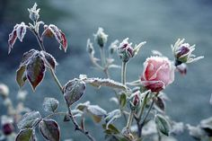 frosted roses #english_rose #frost #roses #pink