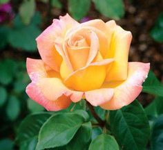 Peace Rose, love the delicate yellow bloom that has pink on the edges of the petals