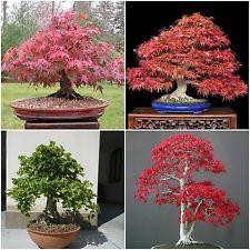 50 seeds Acer in mix ,Acer rubrum, palmatum,palmatum atropurpureum, campestre C