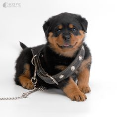 Rottweiler puppy - I'll grow into it...  What do you think, a rottweiler or stick with the corgi?