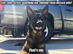 WOAH Bouvier, War Dogs, German Shepherd Puppies, German Shepherds, Beautiful Dogs, Animals Beautiful, Military Working Dogs, Military Dogs, Police Dogs