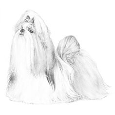 Shih Tzu Dog Breed Information My Love My Pets Pinterest