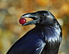 Ravens are among the smartest of all birds, gaining a reputation for solving ever more complicated problems invented by ever more creative scientists. Description from therushforum.com. I searched for this on bing.com/images