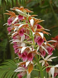 These grew at our farm in Kea'au,Hawaii.They were called nuns cap orchids,very lovely and long lasting orchidaceae | File: Orchidaceae - Phaius