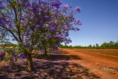 10 things we love about Mildura. RoyalAuto March, 2016. Merbein. Photographer: Anne Morley #Mildura #Victoria #Australia #Jacarandas #JacarandaTrees #Merbein