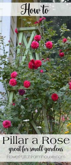 How to Pillar a Rose. Great for small space gardens or anywhere you want vertical interest.  Pillaring a rose is easy and will reward you with towers of blooms!