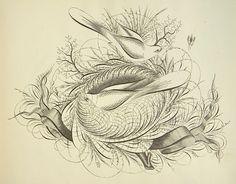 Image result for Spencerian birds antique