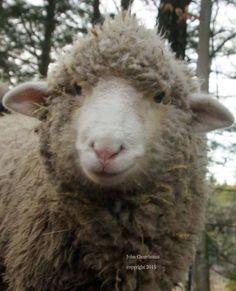 Lamb, Cher, Animals, Animales, Animaux, Animal, Animais, Baby Sheep
