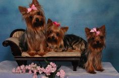 Yorkies for Sale. Some of the Most Beautiful Teacup Puppies in the World! Classy, Lovable Teacup Yorkie & Maltese for Sale. Biewer Yorkie, Yorkie Puppy, Yorkies, Pomeranian Dogs, Teacup Pomeranian, I Love Dogs, Cute Dogs, Yorkie Puppies For Adoption, Animals Beautiful