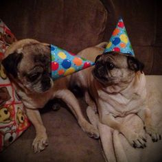 cuddlepugs:  Happy birthday, cuddlepugs!