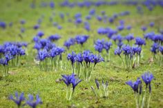 Znalezione obrazy dla zapytania iris reticulata gordon